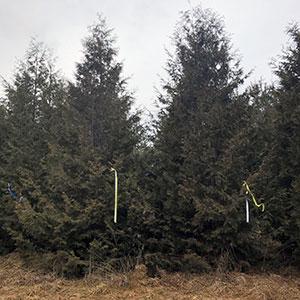 Nigra Arborvates